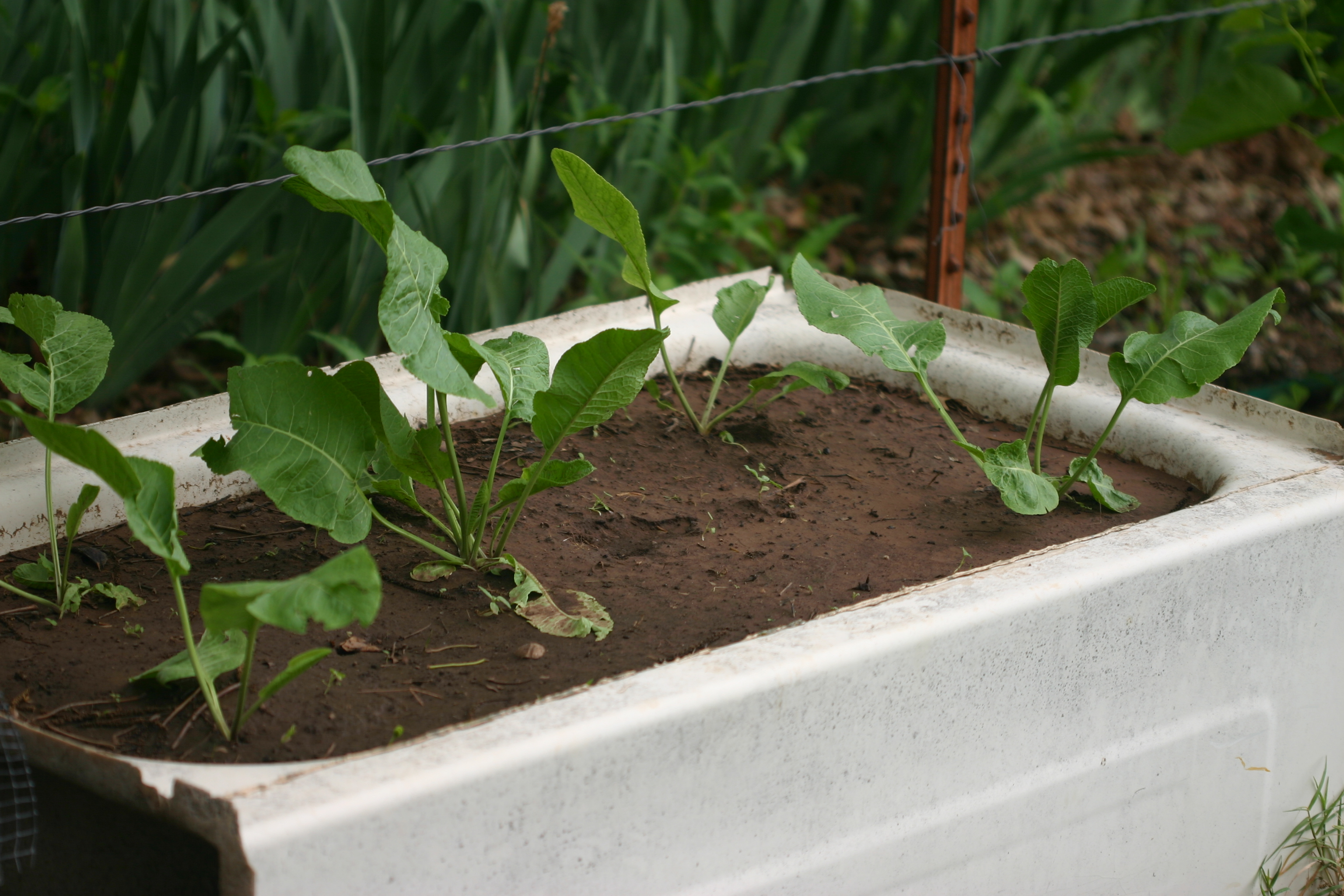 Bathtub gardening day by day the farm girl way for Fiberglass garden tub