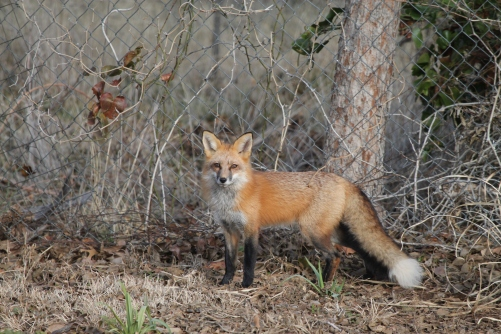 Alerted by my clumsiness, Ms. Fox stares right at me!