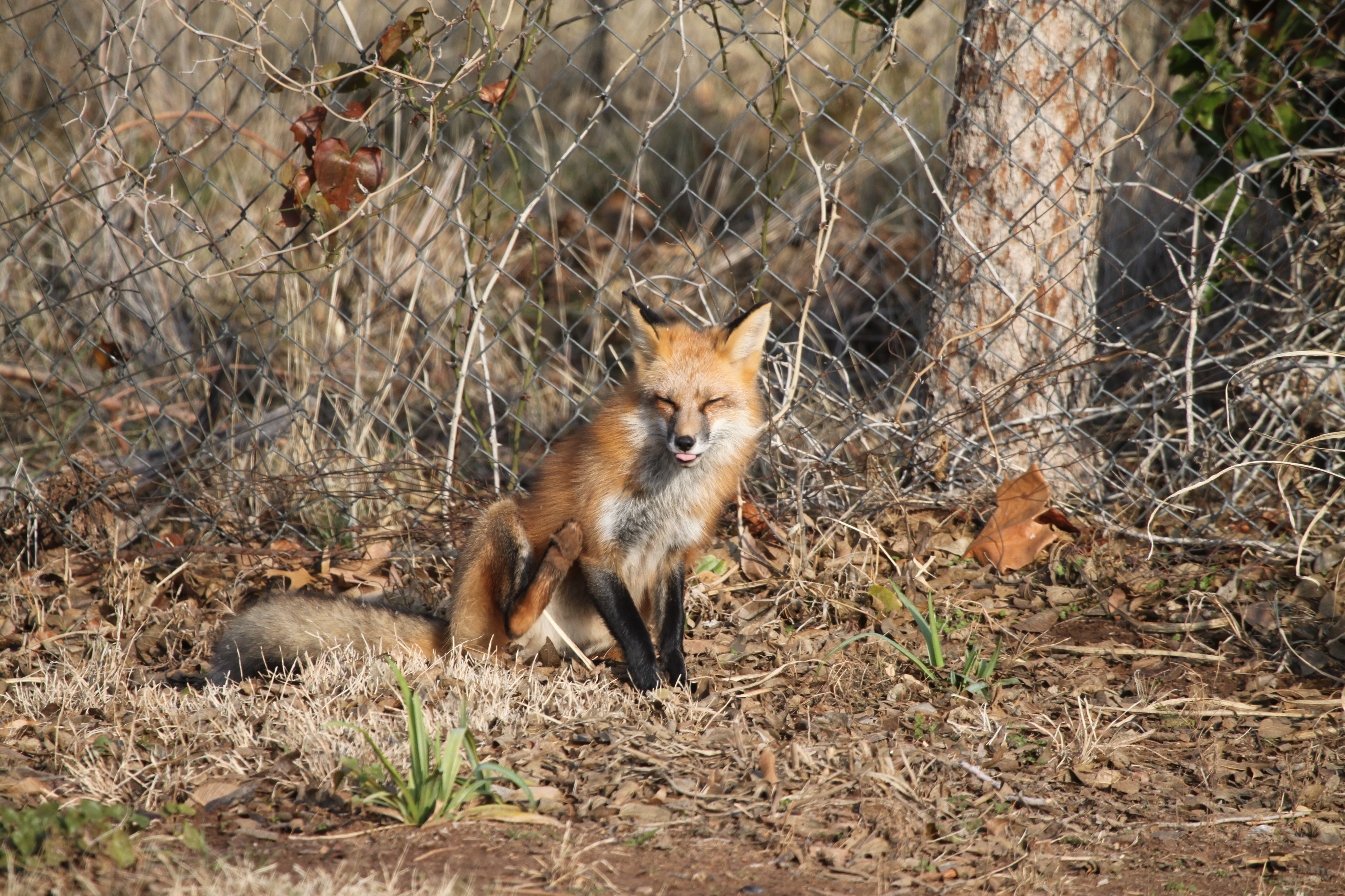 One Sly Fox – Day by Day the Farm Girl Way…