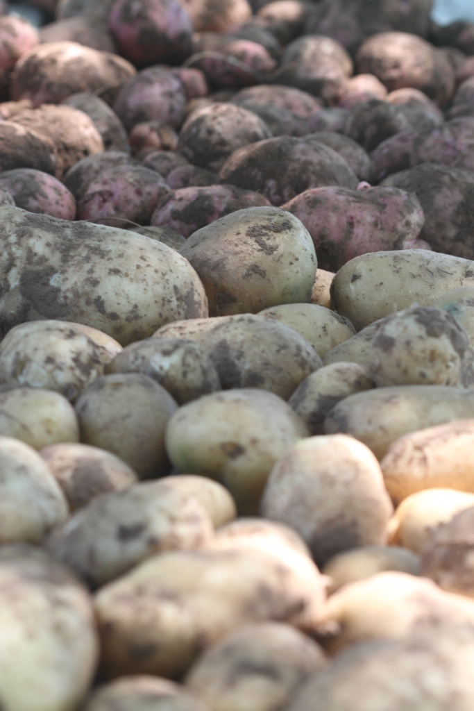 Harvesting The Potato Crop With Help From Daisy Deer