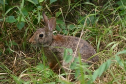 Ms. Cottontail comes a little closer to the area where Daisy deer has beded down.