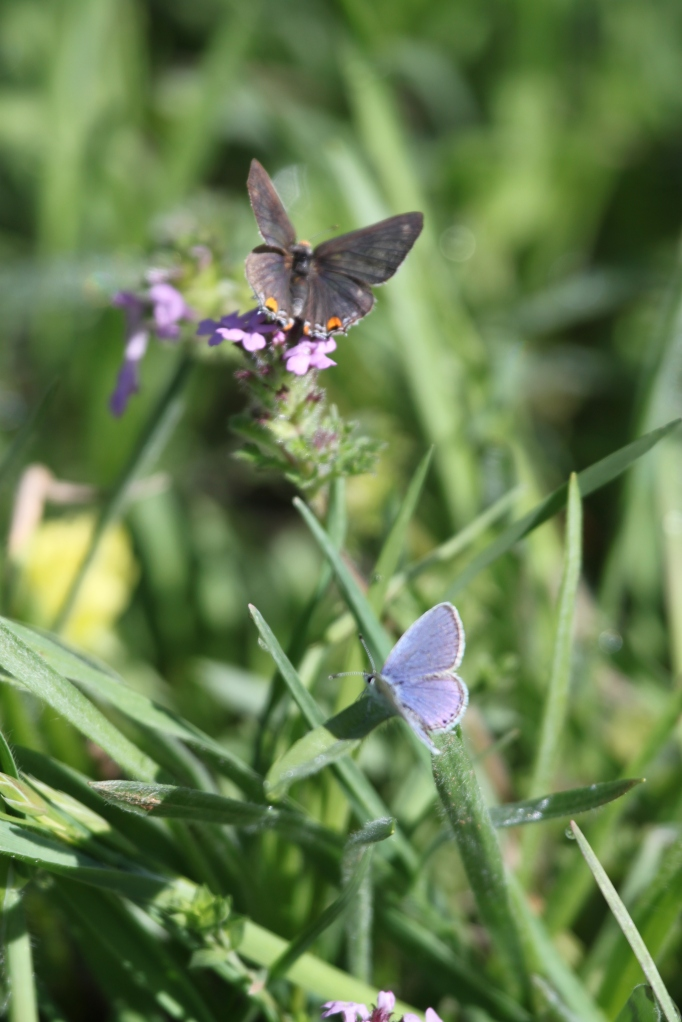 Acmon Blue (Top) and Common Blue (Bottom) Butterflies at woodland meadow..