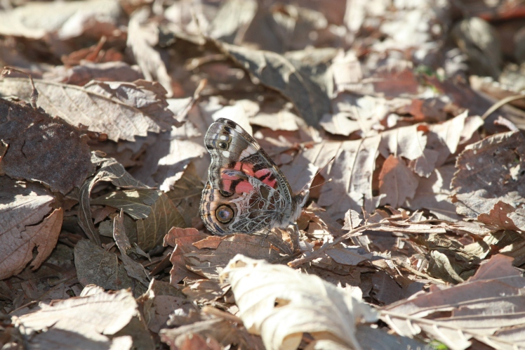 American Painted Lady (Underside) in woodland..