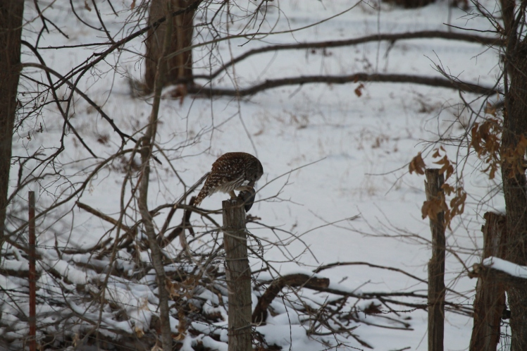 The Barred Owl prepares to fly away, finding a better spot to eat his meal.