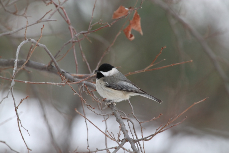 This little chickadee seemed rather curious about me. Chickadees are a common sight year-around in our woodlands.