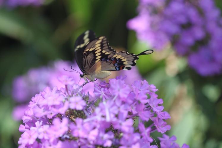 Black Swallowtail on Tall Phlox.