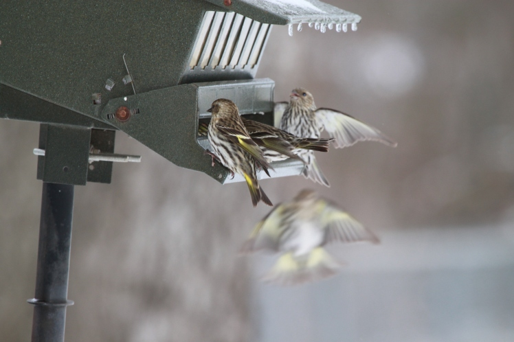Pine siskins competed all day for perching rights on the bird feeder!