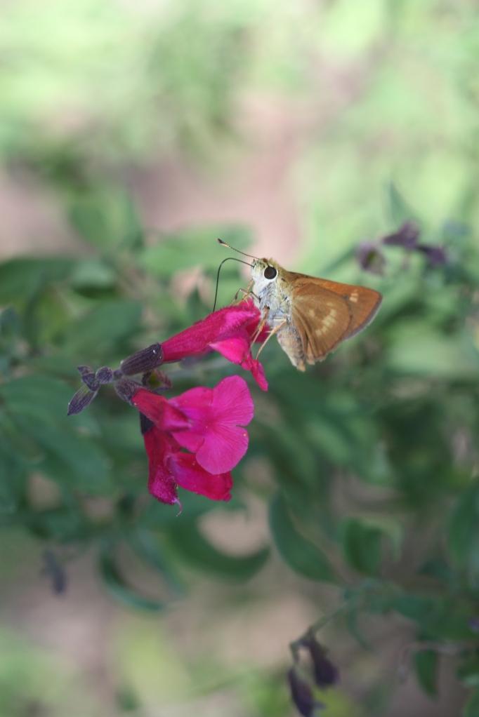 Folded-winged Skipper on Wild Salvia.