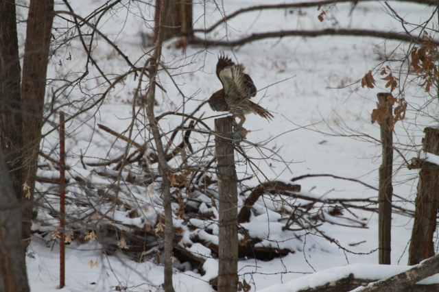 The Barred Owl flees to a fence post with its prey.
