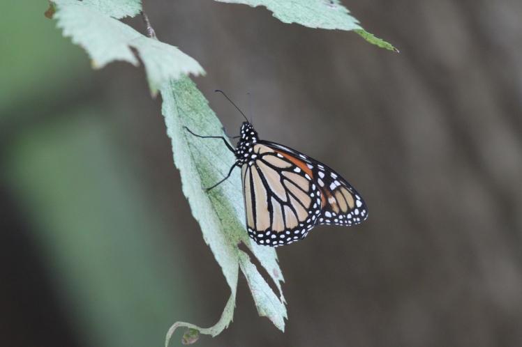 Monarch in autumn.
