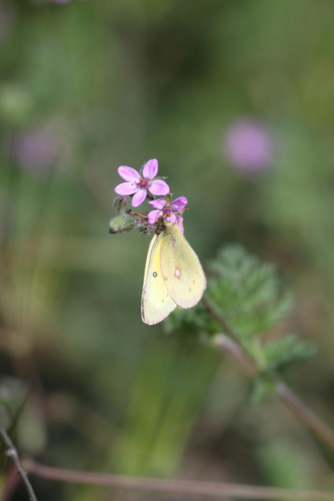 Sulpher on wildflower in meadow .