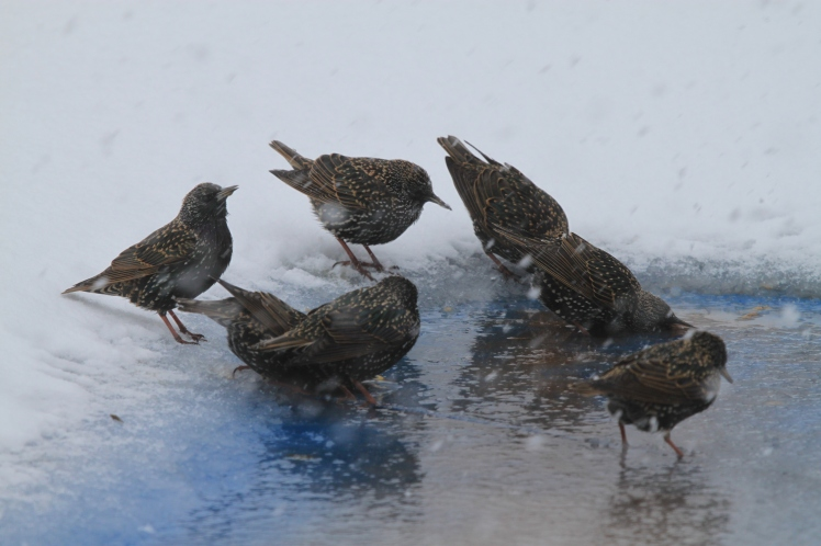 Starlings sipping water on the pool cover.
