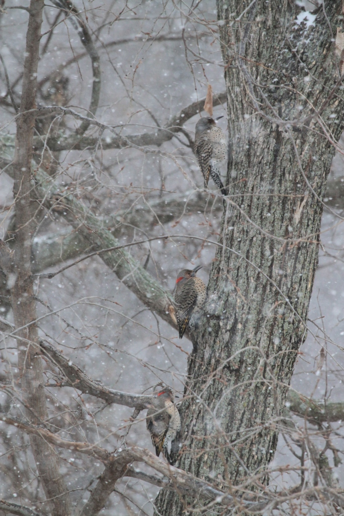 Three Northern Flickers