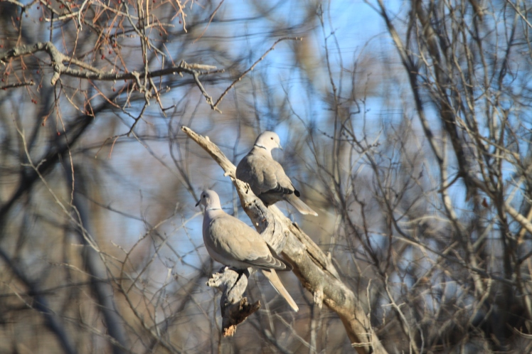 A pair of Eurasian Collared Doves taking advantage of a sunny, warm day.
