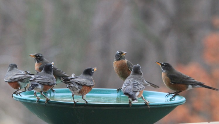 Robins gather at the heated bird bath after I've filled it with fresh well water!