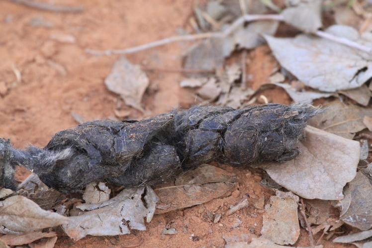 The tapered ends of fox scat often connect with two or three sections. On our property, we tend to find these droppings in the same locations each week.