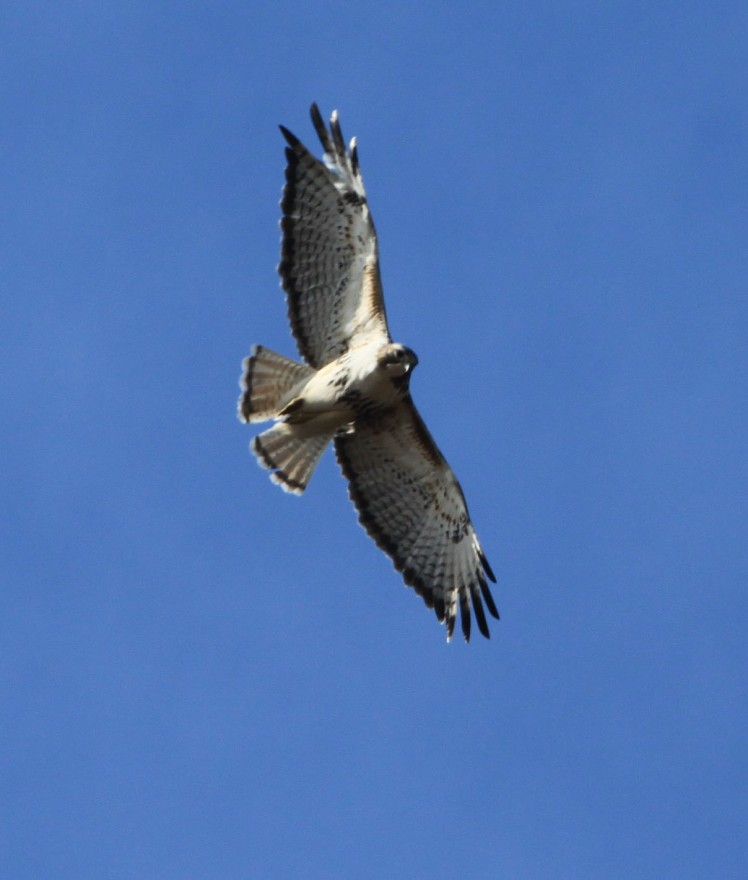 A lone hawk circling high in the sky above me.