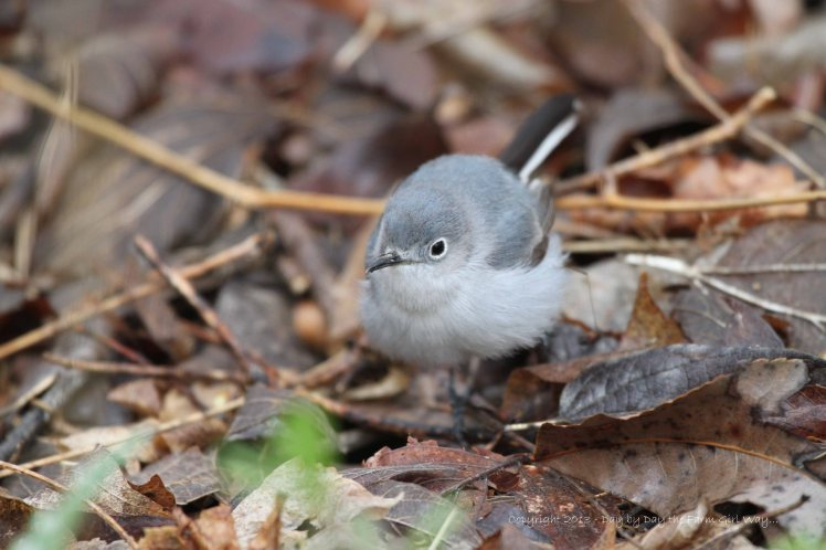 This was the only good photo I managed of the female Blue-Gray Gnatcatcher. She was constantly on the move!