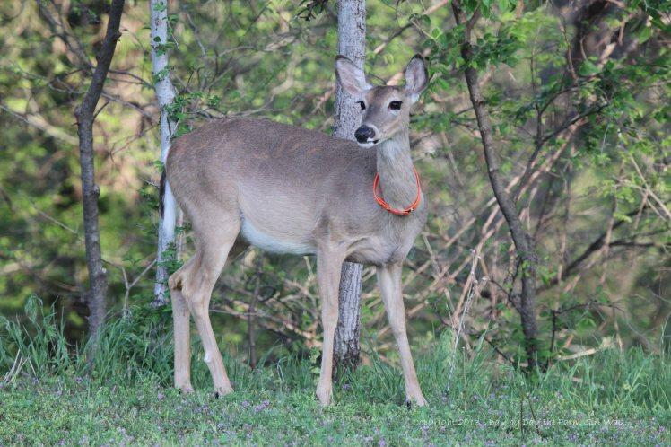 This spot just south of our house, along the canyon rim is one of Daisy's favorite spots to nibble fresh hackberry tree leaves!