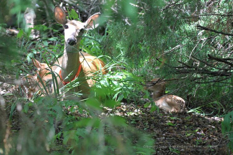 Daisy and her twins when I first spied her this morning about 11:00 a.m. Both fawns were dry, Daisy was cleaned up, and the area was without visible evidence of a birthing. FD and I feel she delivered in the wee hours of the morning, during the first thunderstorm. The second thunderstorm would be a plus, helping to wash away any minute signs of a birth, keeping predators from being drawn to the area.