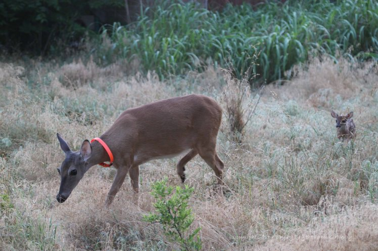 Daisy leading her little doe fawn into a new bedding area.