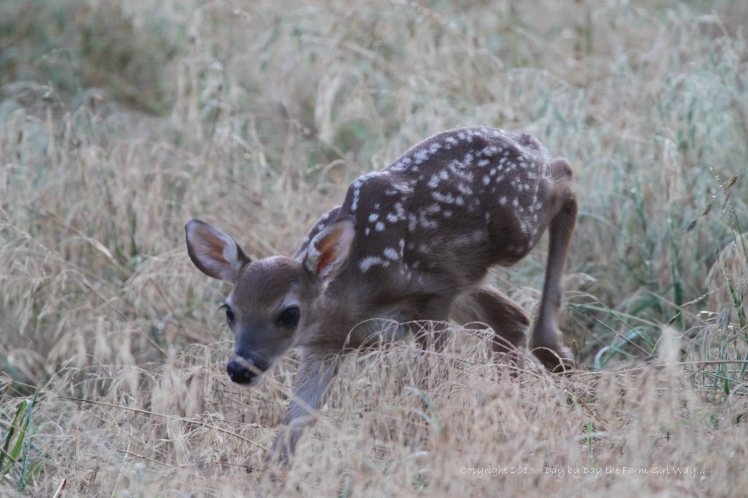 After nursing, the doe fawn follows Daisy through the dew-covered weeds to find a new bedding spot for the day. Daisy gently touches a hoof to the head or back of the fawn to let it know she wants it to stay. The fawn actually seeks out its own bedding spot in that approximate area.