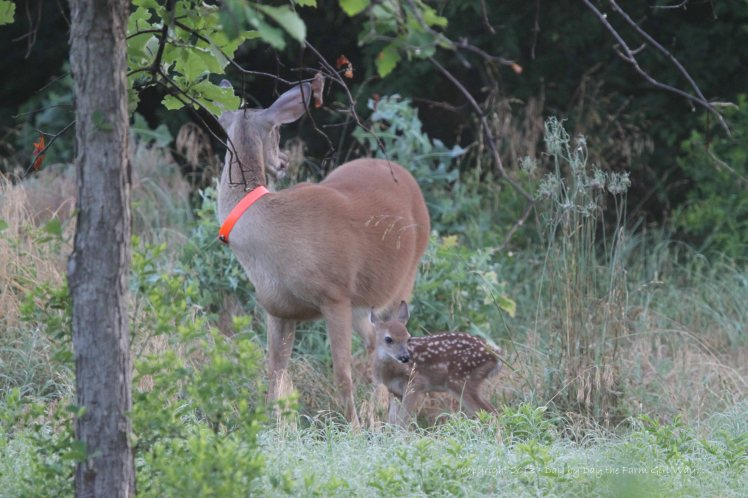 Daisy with her little buck fawn, getting a little exercise and searching for a new bedding area.