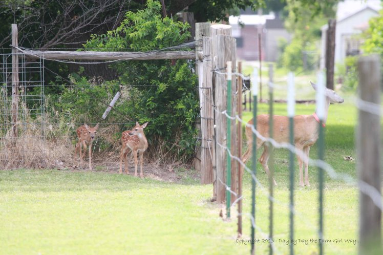 Daisy watches the street and alley while her nearly 3 week-old fawns emerge from the iris beds at FD's Mom's house.
