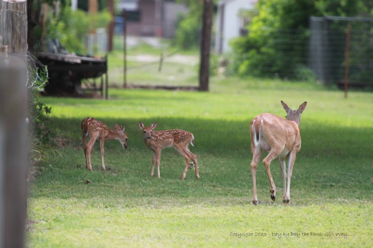 In the shade of an oak tree, Daisy allows her fawns to exercise a little.