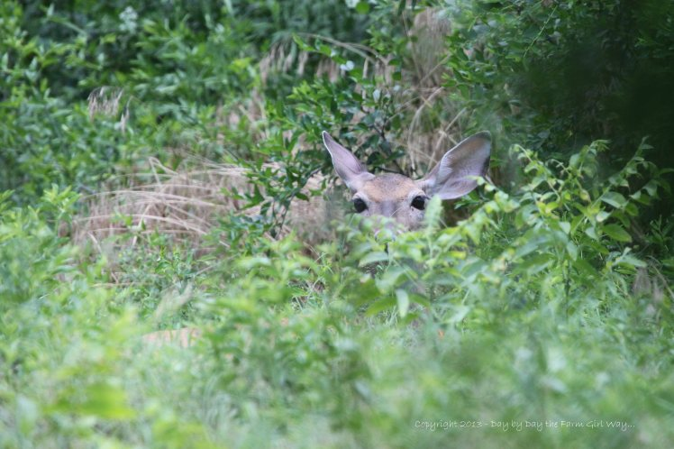 The past two days, Daisy had become very secretive, hiding in the brush, trees, and weeds in the neighbor's backyard.