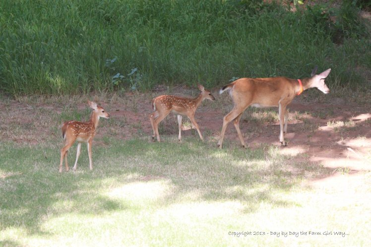 Thursday morning, July 11th. Daisy leads her fawns to graze on chicory and other good eats in the canyon.