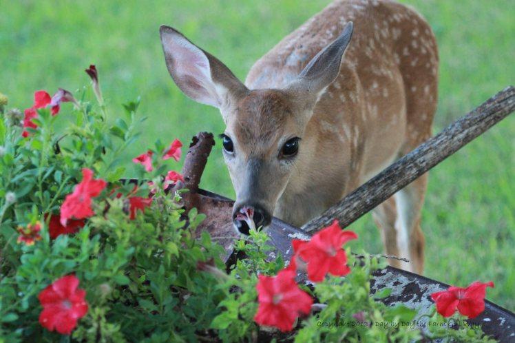 Spirit investigates the petunia's.