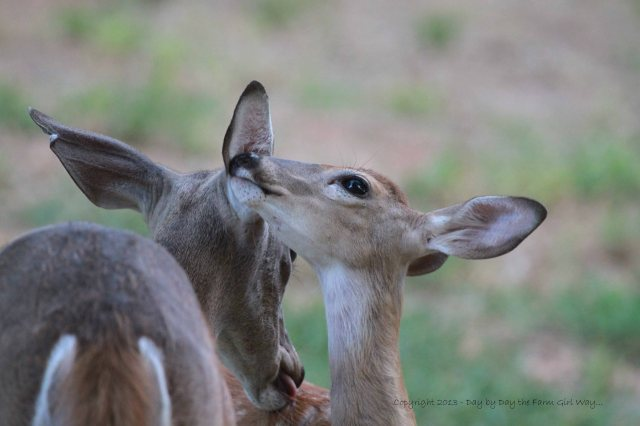 Without mutual grooming, a deer could never mange to keep its ears clean, except to scratch a bit with a hoof!