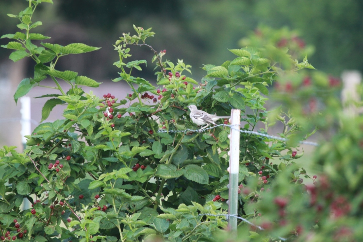 This mockingbird made regular stops at the blackberry patch.