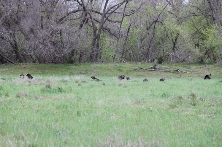 The flock of hens and gobblers I observed as I approached the open pasture.