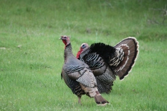 What a stunning display of feathers! This gobbler simply shook and fluffed out his magnificent fan of plumage and color.