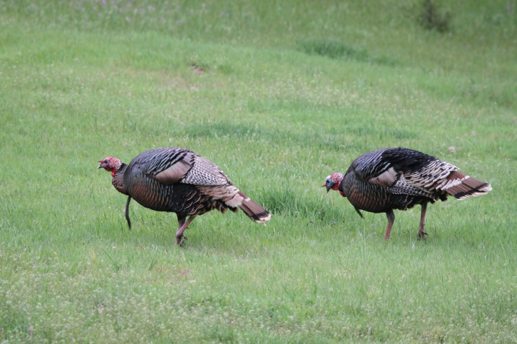 The gobbler in front is an older bird, sporting a fine, long beard.
