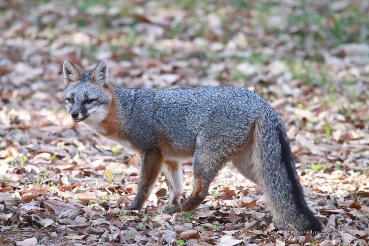 FD captured these photos of the gray fox with an apparent back injury, a hacking cough, and dull eyes.