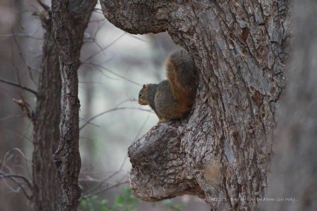 This Fox Squirrel finds a little shelter from the sleet on the south side of an old hackberry tree.