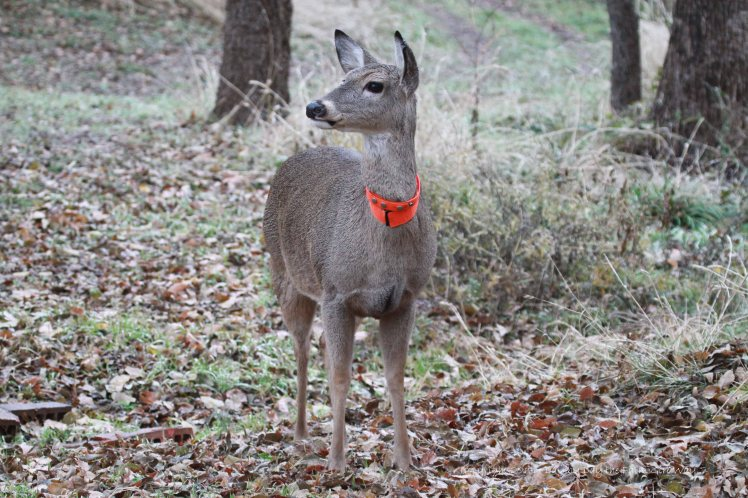 Daisy is alert to the seven-point buck who is lingering nearby.