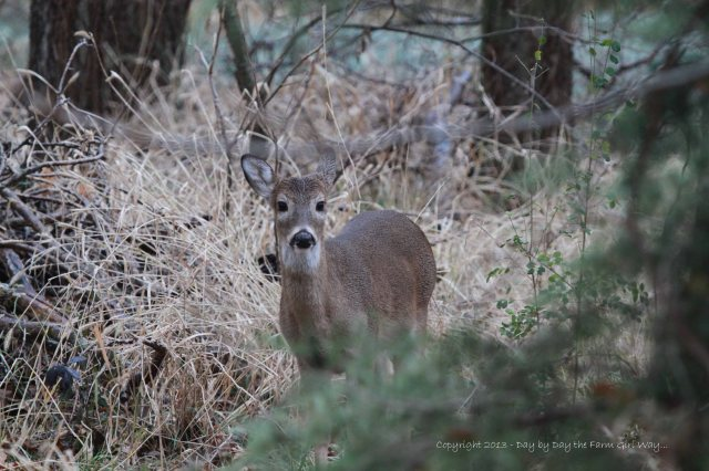 While Scarlet and her doe fawn stay back in the woods, her little buck ventures out to be near Daisy and Spirit. I often see this little fella with Daisy and Spirit. He is a little timid but not afraid of FD and me.