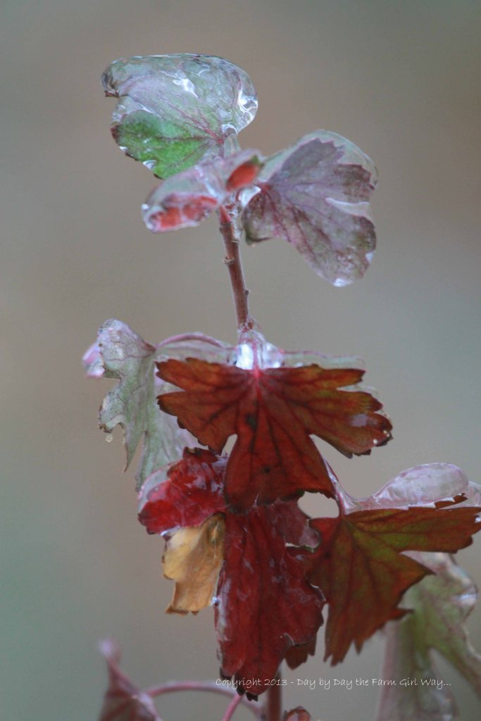 Currant Leaves Laden in Ice