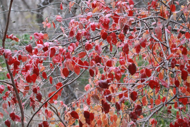 This woodland tree provides a splash of vivid red on a cold, gray morning.