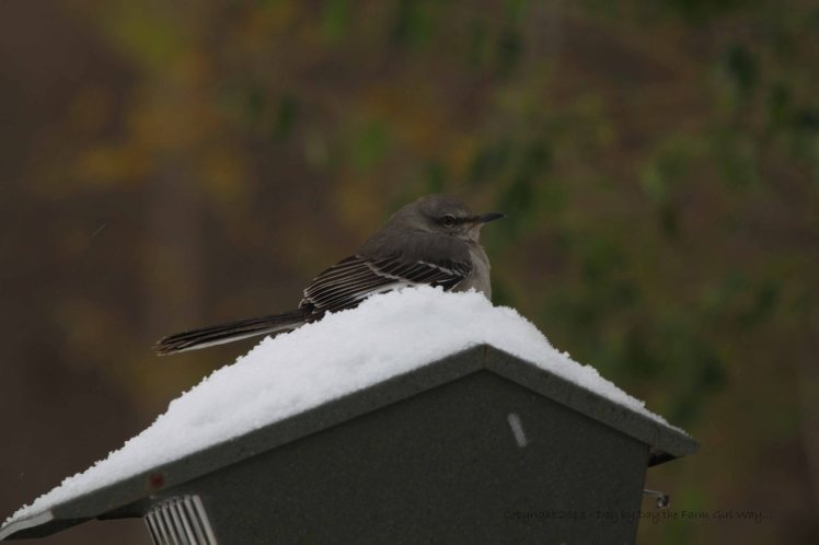 My mockingbird friend makes himself at home on top of the bird feeder!