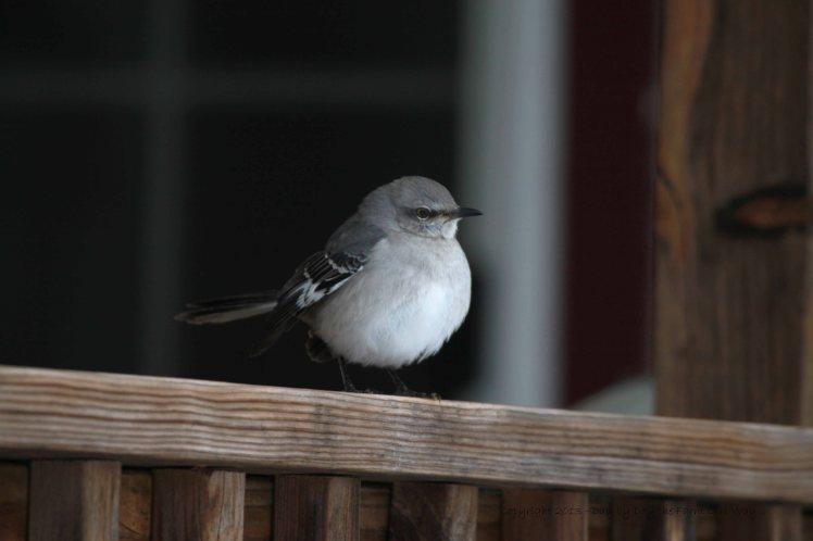 Mockingbird on Back Porch