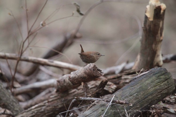 This Winter Wren was the first photo capture, enticing me to cross the fence to the pecan orchard.