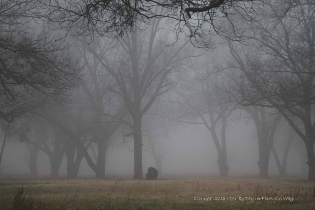 A bull grazed under the canopy of pecan trees shrouded in fog.