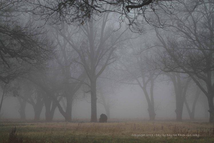 A bull grazed under the canopy of pecan trees shrouded in fog.