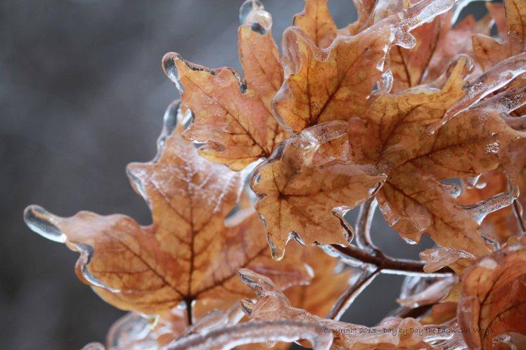 Maple Leaves Encrusted In Ice