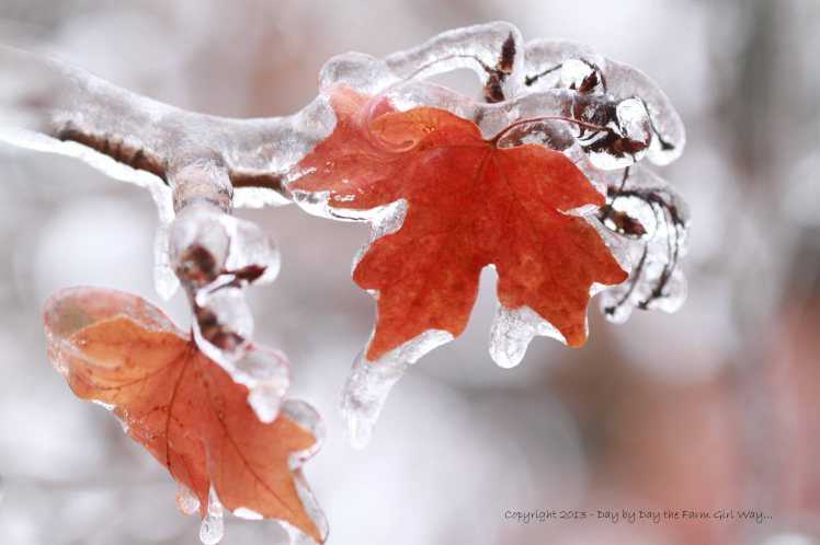 Red Maple Frozen In Time